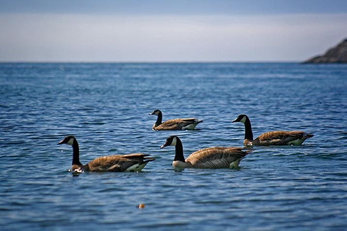 photogroffee_geese.jpg
