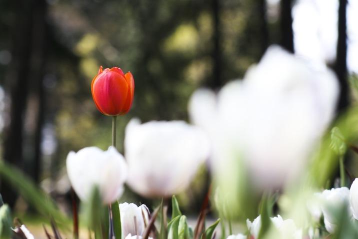 tulipy.jpg