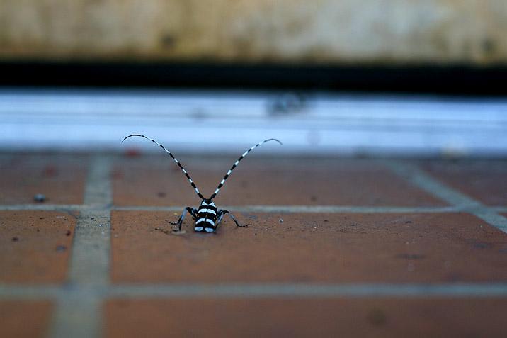 zebra_bug.jpg